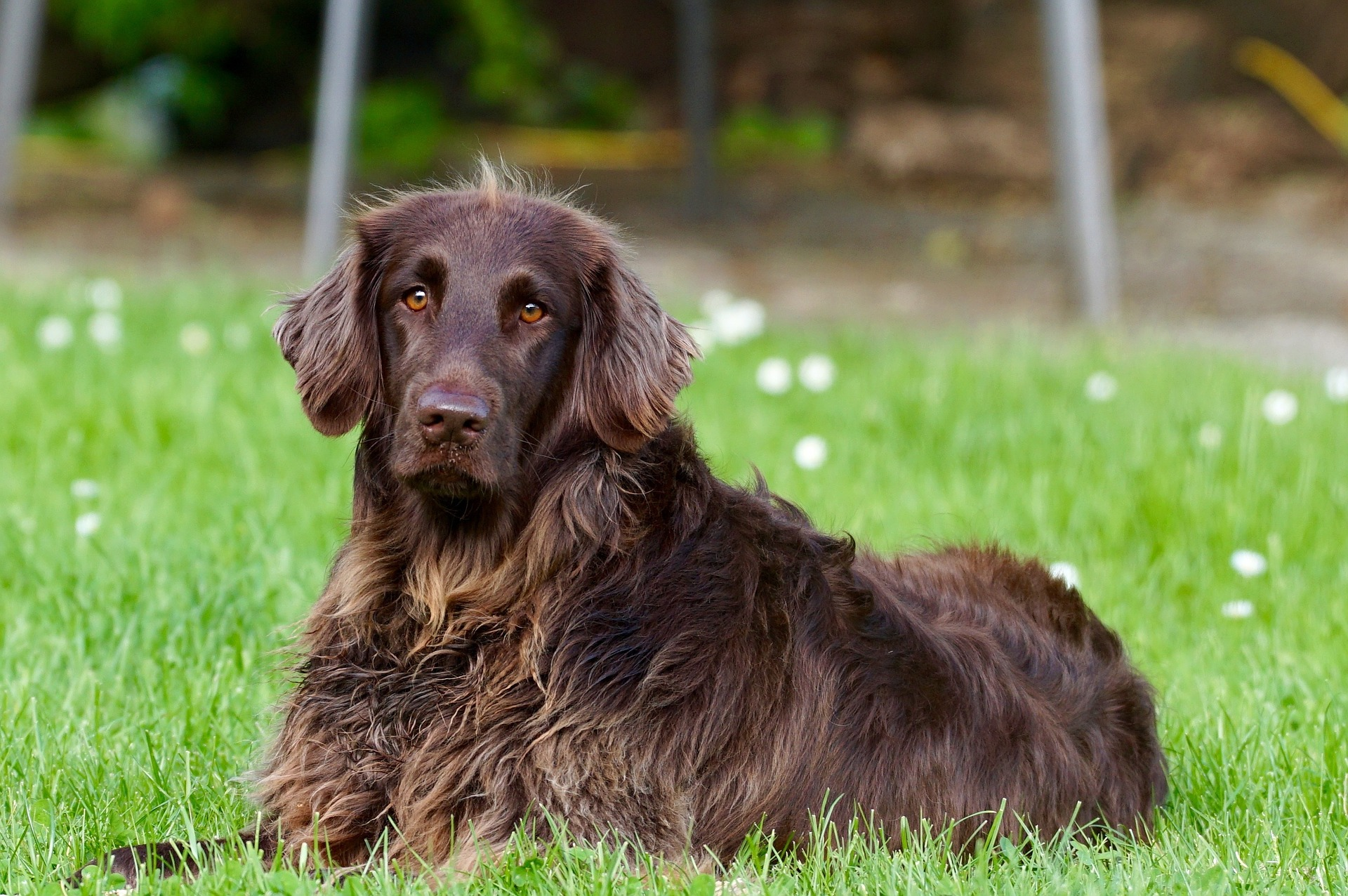A German longhaired pointer in a yard that uses the best wireless dog fence with 2-acre coverage
