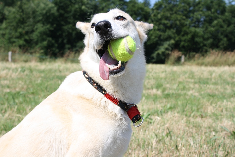 How To Train A Dog - training a dog catching ball