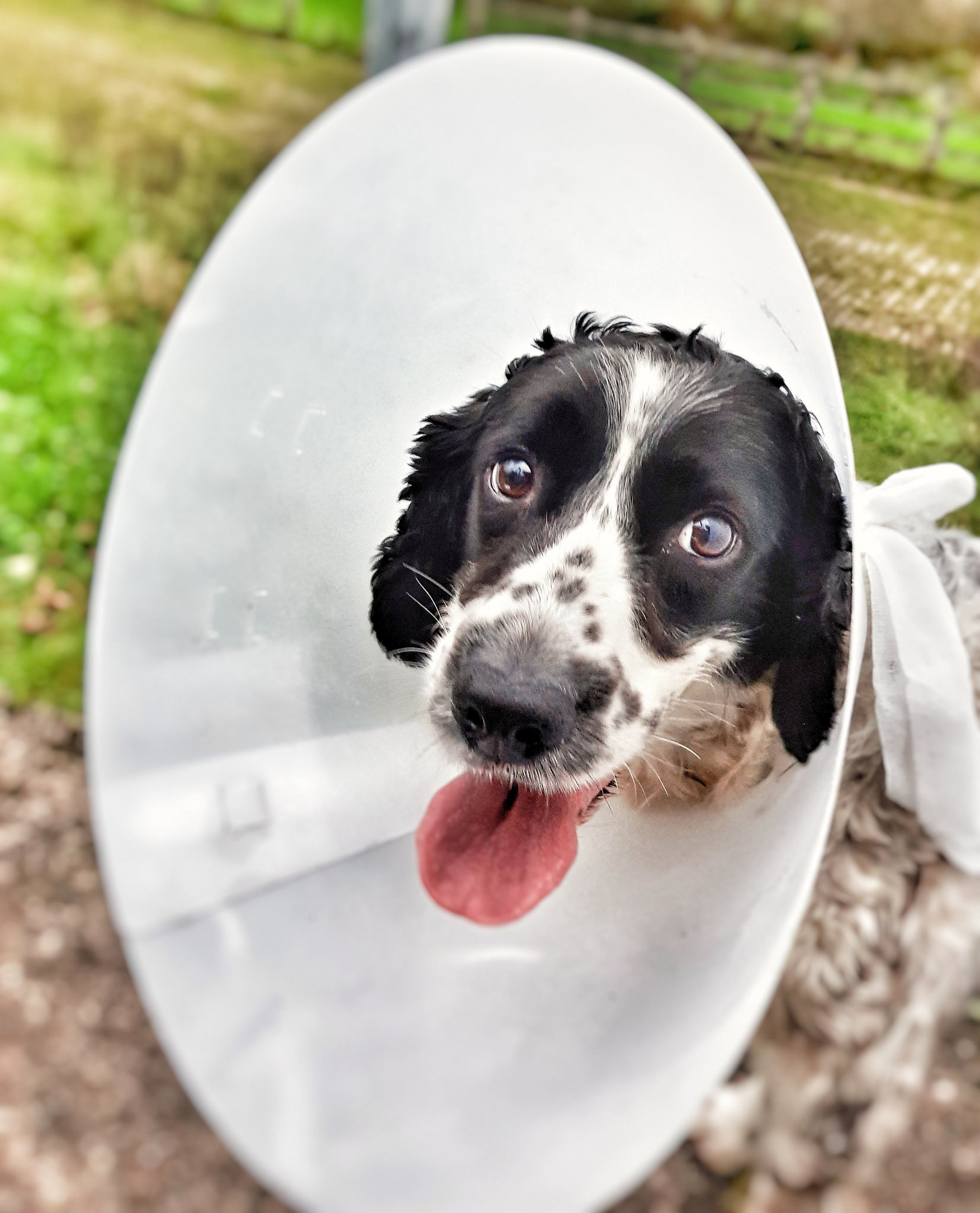 dog in cone of shame after surgery