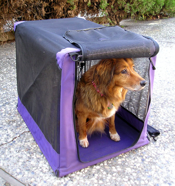 golden retriever in a purple soft-sided dog crate