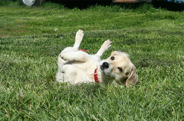 Puppy rolling on the grass