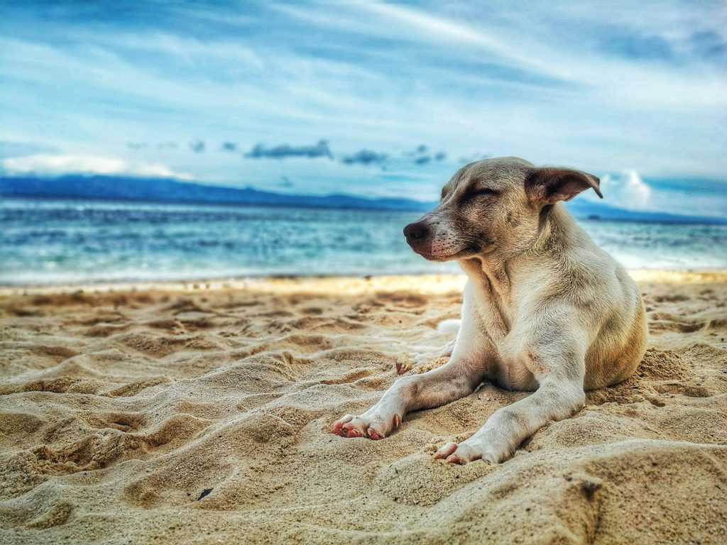brown dog chilling on the beach by blue ocean