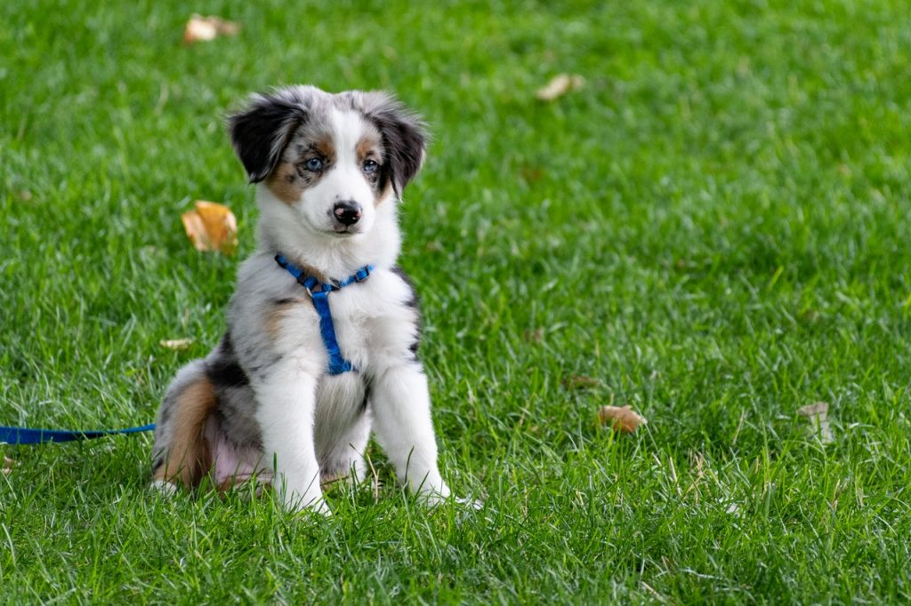 aussie shepherd with blue eyes in grass