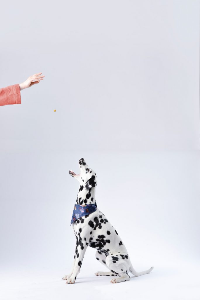 dalmatian with blue bandana getting dog treat in white background