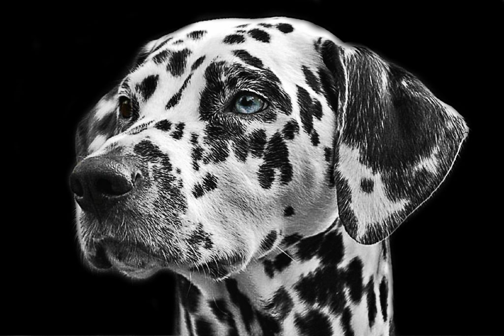 dalmatian with blue eyes black background