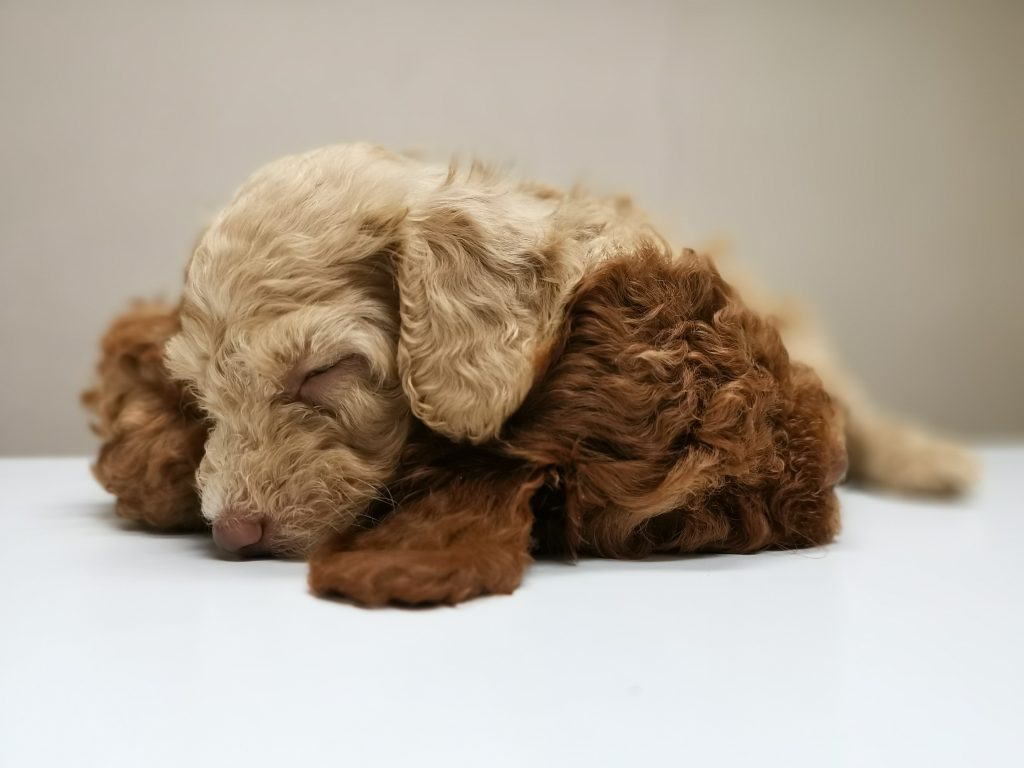 light brown and dark brown soft puppies snuggling
