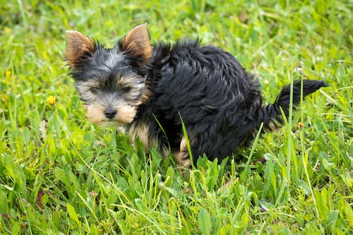dog peeing in the grass - how to potty train a puppy