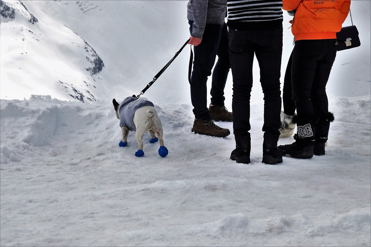 Dog wearing boots on snow