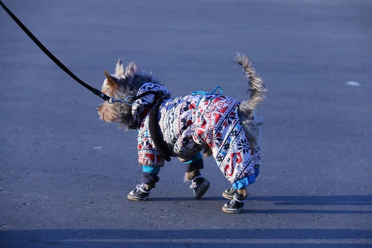 Walking dog in full clothes and boots