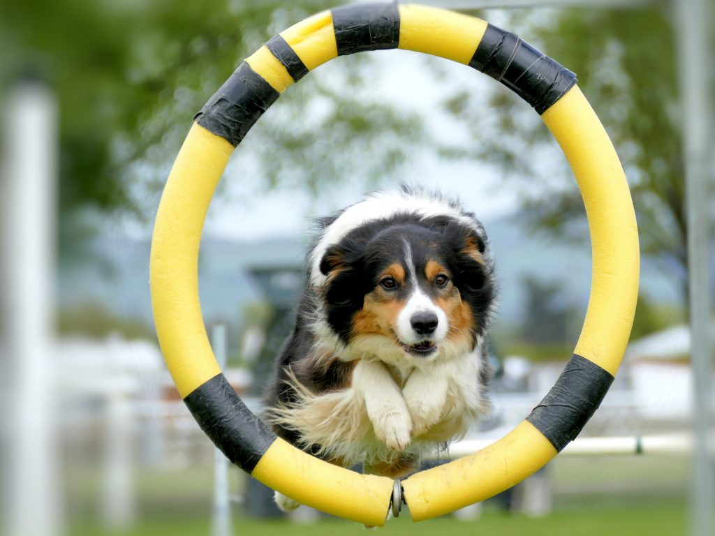 Dog through Hoop