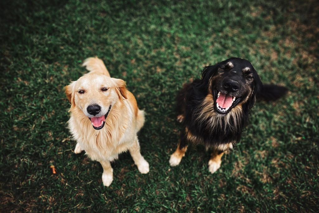 Trained Adult Dogs