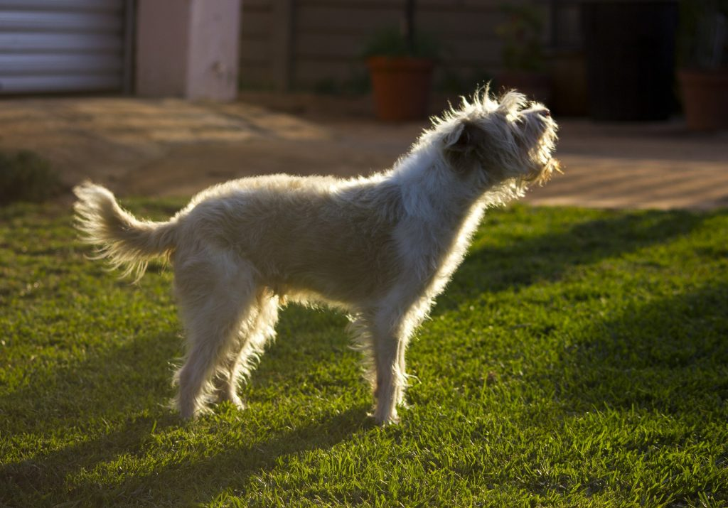 A small white dog barking in the grass