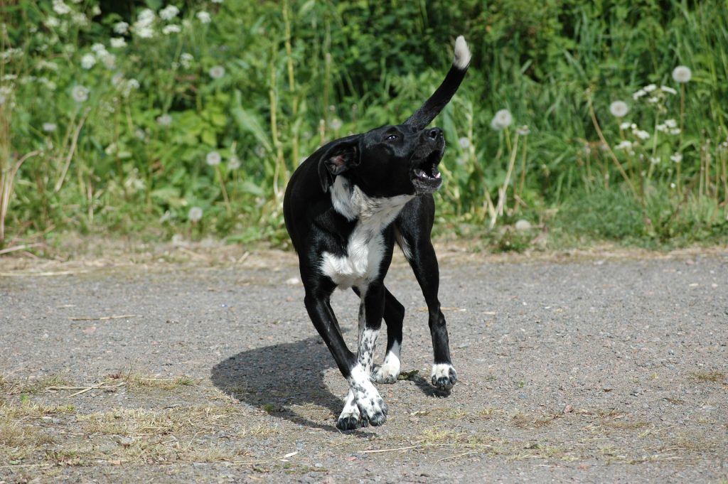 A black and white dog with barking problems running on gravel.