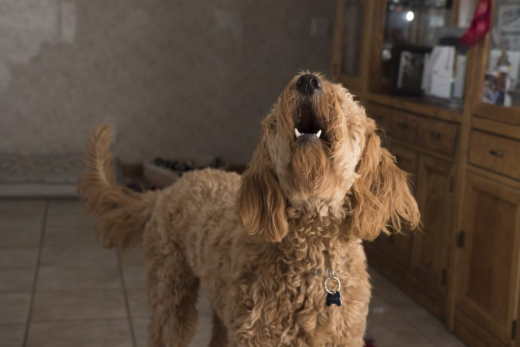 A doodle dog with barking problems in the house