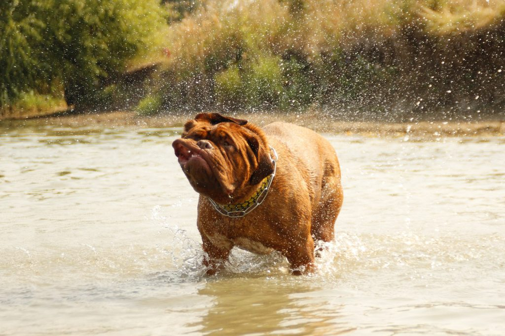 A dog shaking water off of him while standing in a lake, showing how essential mud control for dogs really is.